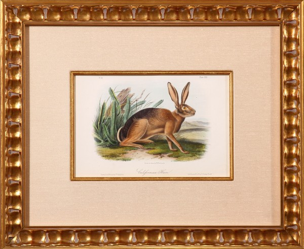 Californian Hare