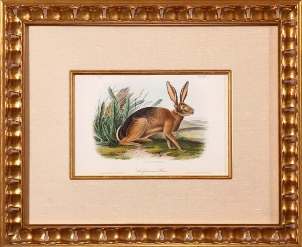 Californian Hare