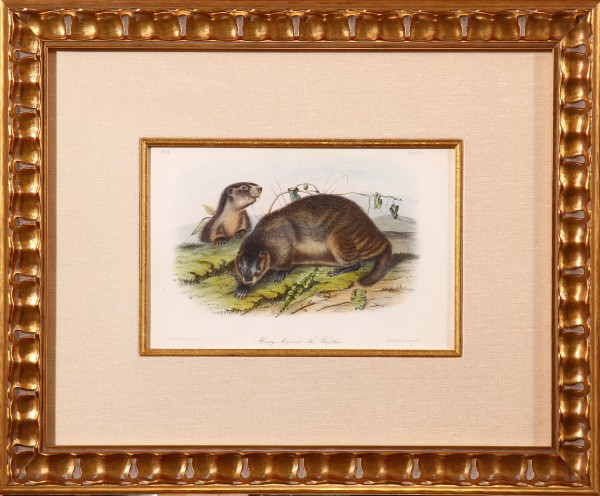 Hoary Marmot- The Whistler