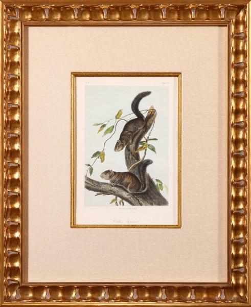Collie's Squirrel